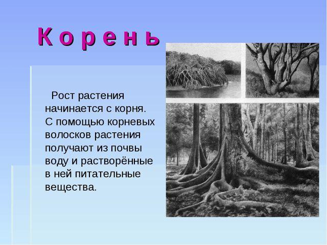 К о р е н ь Рост растения начинается с корня. С помощью корневых волосков ра...