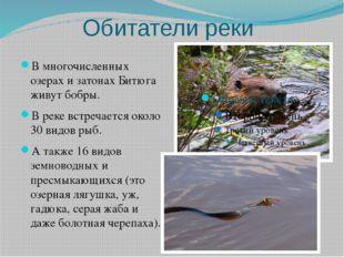 Обитатели реки В многочисленных озерах и затонах Битюга живут бобры. В реке в