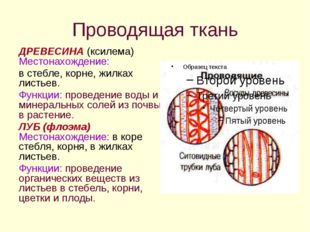 Проводящая ткань ДРЕВЕСИНА (ксилема) Местонахождение: в стебле, корне, жилках