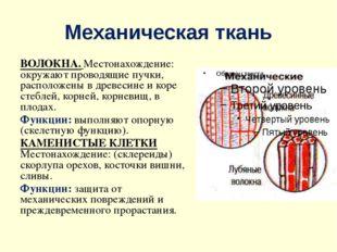 Механическая ткань ВОЛОКНА. Местонахождение: окружают проводящие пучки, распо