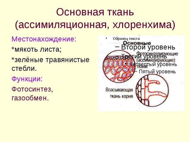 Основная ткань (ассимиляционная, хлоренхима) Местонахождение: *мякоть листа;...