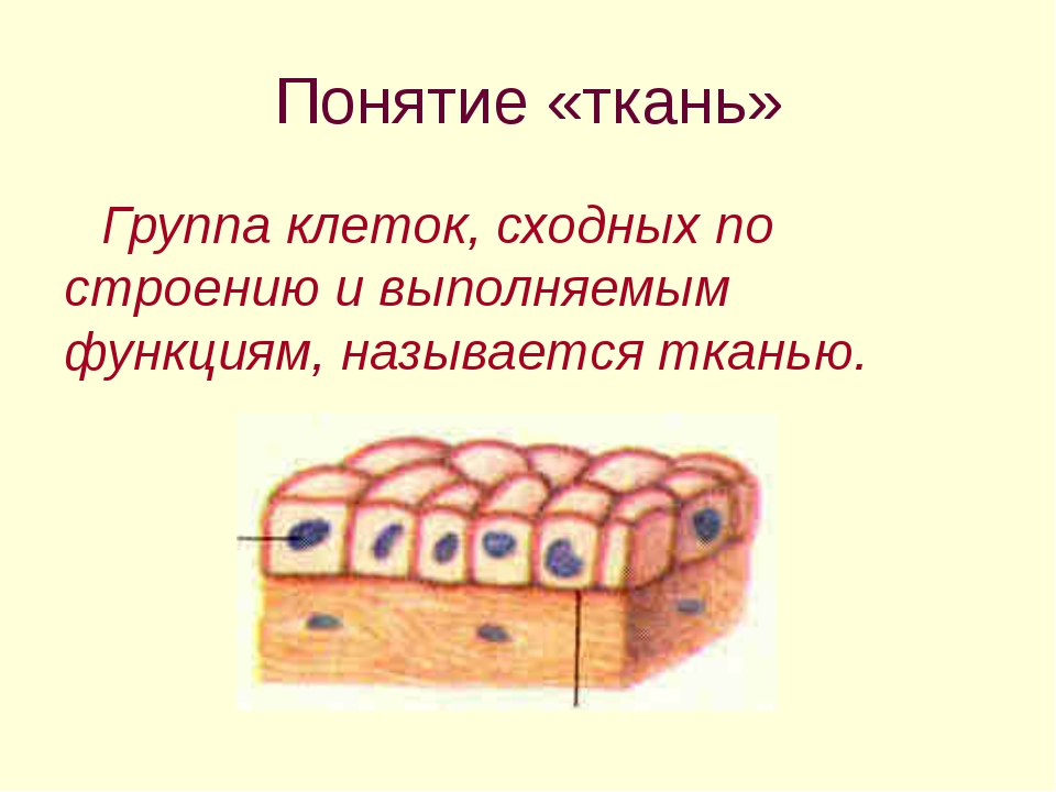 Понятие «ткань» Группа клеток, сходных по строению и выполняемым функциям, на...