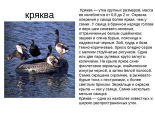 кряква Кряква — утка крупных размеров, масса ее колеблется от 0,8 до 2 кг. О