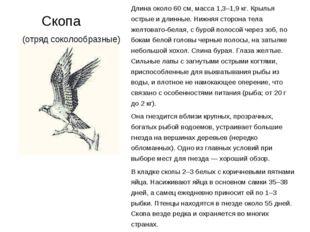 Скопа (отряд соколообразные) Длина около 60 см, масса 1,3–1,9 кг. Крылья ост