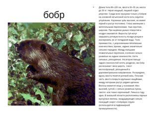 бобр Длина тела 80–100 см, хвоста 30–35 см, масса до 30 кг. Череп мощный, ли
