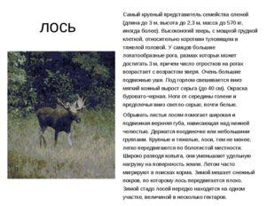 лось Самый крупный представитель семейства оленей (длина до 3 м, высота до 2