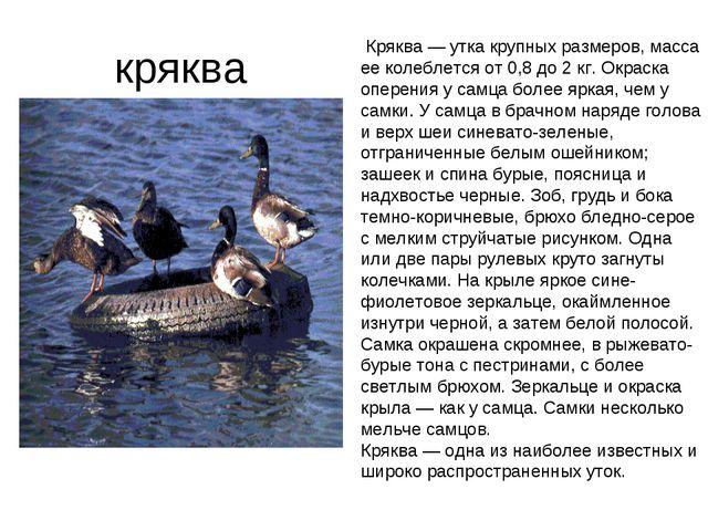 кряква Кряква — утка крупных размеров, масса ее колеблется от 0,8 до 2 кг. О...