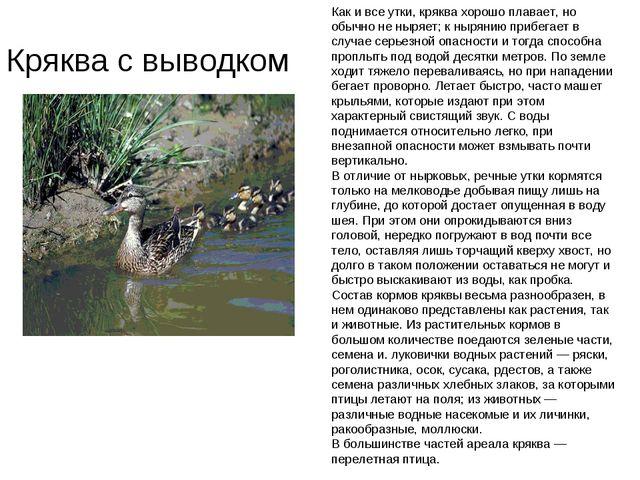 Кряква с выводком Как и все утки, кряква хорошо плавает, но обычно не ныряет;...