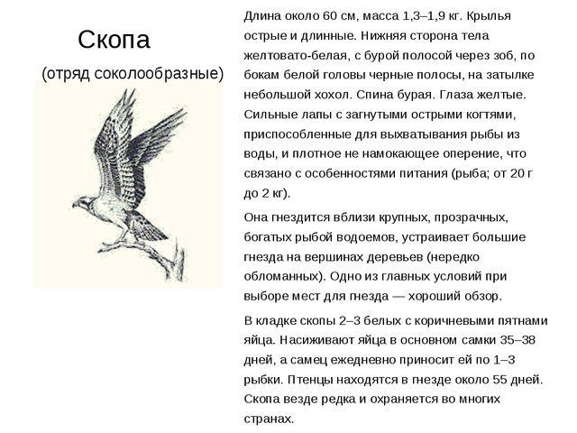 Скопа (отряд соколообразные) Длина около 60 см, масса 1,3–1,9 кг. Крылья ост...