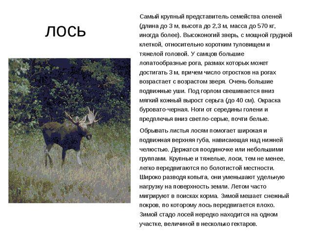 лось Самый крупный представитель семейства оленей (длина до 3 м, высота до 2...