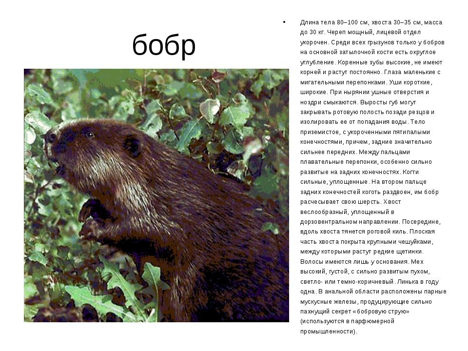 бобр Длина тела 80–100 см, хвоста 30–35 см, масса до 30 кг. Череп мощный, ли...