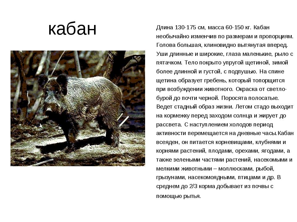 кабан Длина 130-175 см, масса 60-150 кг. Кабан необычайно изменчив по размер...
