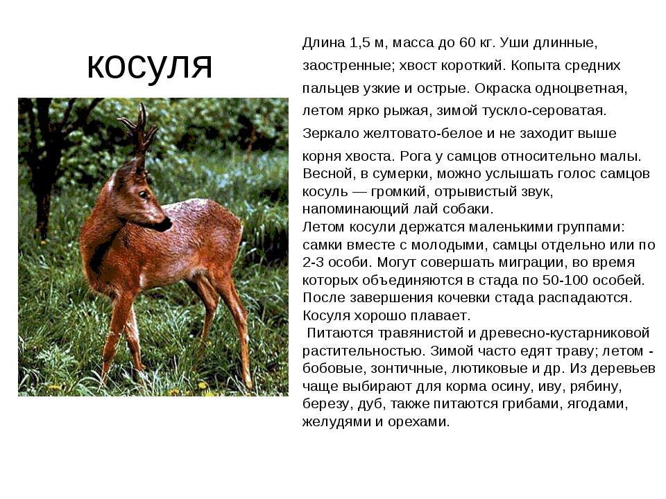косуля Длина 1,5 м, масса до 60 кг. Уши длинные, заостренные; хвост короткий...