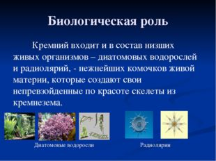 Биологическая роль Кремний входит и в состав низших живых организмов – диатом