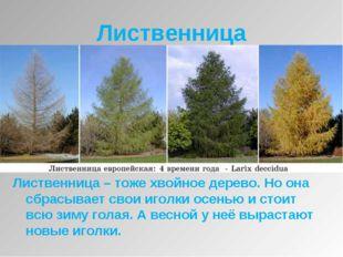 Лиственница Лиственница – тоже хвойное дерево. Но она сбрасывает свои иголки