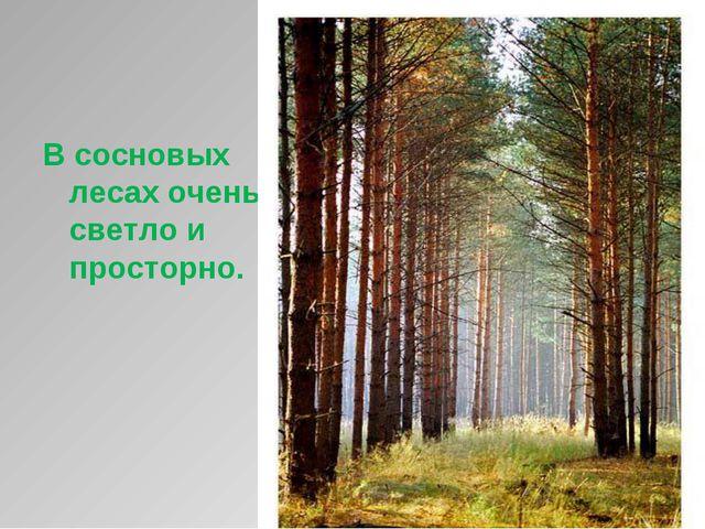 В сосновых лесах очень светло и просторно.