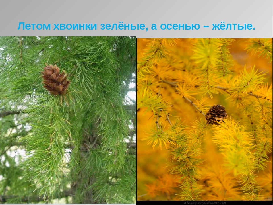 Летом хвоинки зелёные, а осенью – жёлтые.