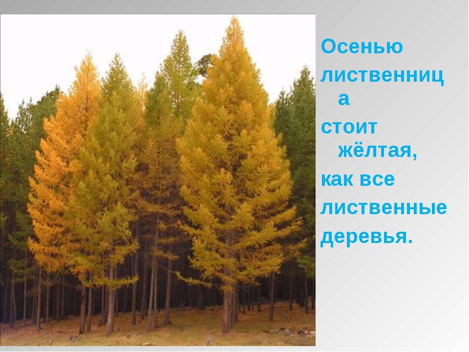 Осенью лиственница стоит жёлтая, как все лиственные деревья.