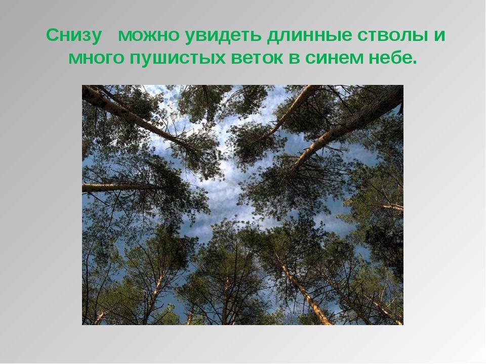 Снизу можно увидеть длинные стволы и много пушистых веток в синем небе.