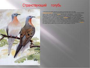 Странствующий голубь Самым ярким и наглядным примером методичного истребления