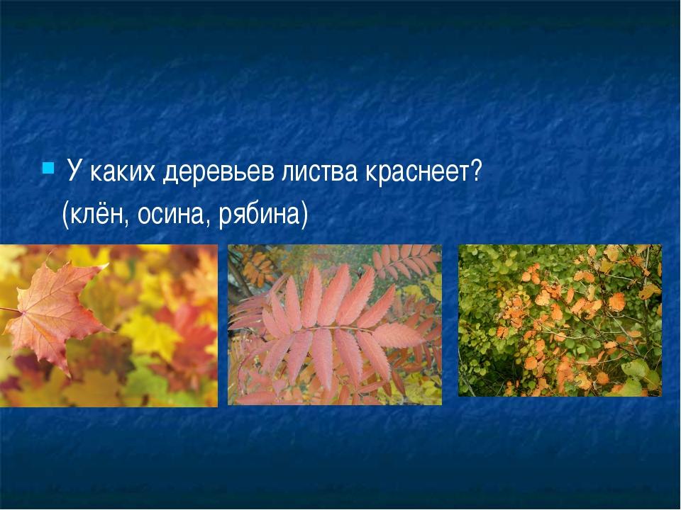 У каких деревьев листва краснеет? (клён, осина, рябина)