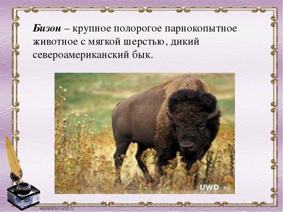 Бизон –крупное полорогое парнокопытное животное с мягкой шерстью, дикий севе...