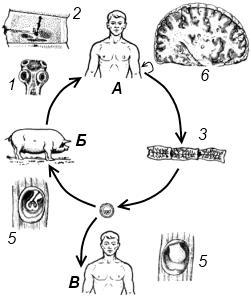 Схема жизненного цикла свиного цепня