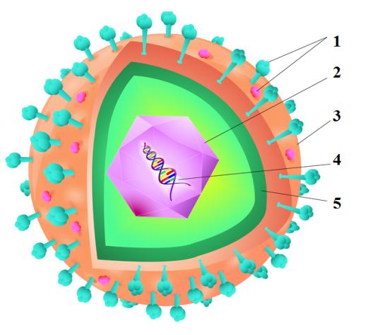 C:\Users\5\Desktop\тетради по микробиологии от Белозеровой\Рабочая тетрадь Фоменко\1.png