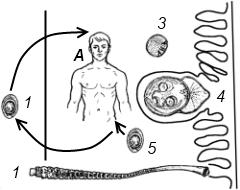 Схема жизненного цикла карликового цепня