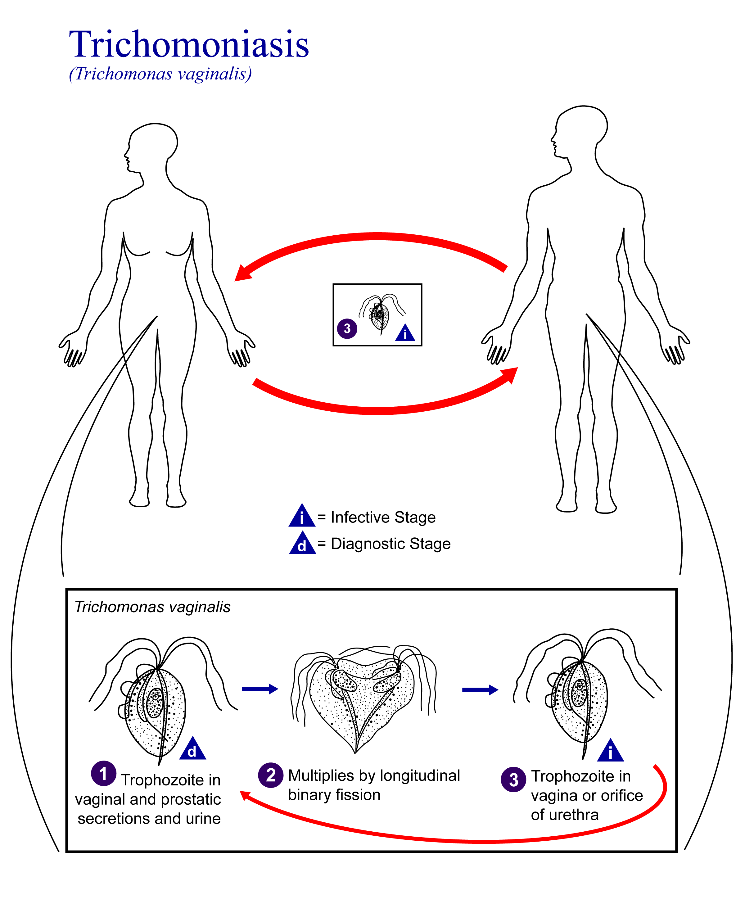 http://drugline.org/img/term/trichomoniasis-15325_3.png