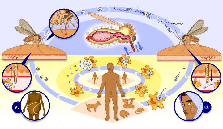 http://www.liquidjigsaw.com/science/illustration/images/large/leishmaniasis-lifecycle.jpg