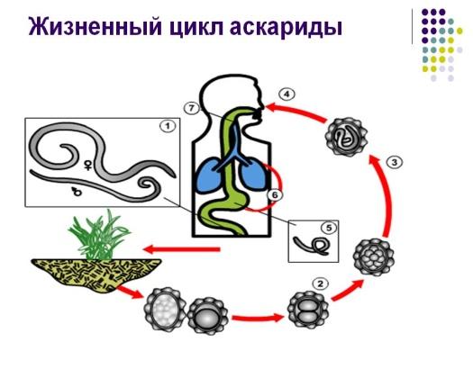 http://900igr.net/datas/biologija/Biologija-Kruglye-chervi/0005-005-ZHiznennyj-tsikl-askaridy.jpg