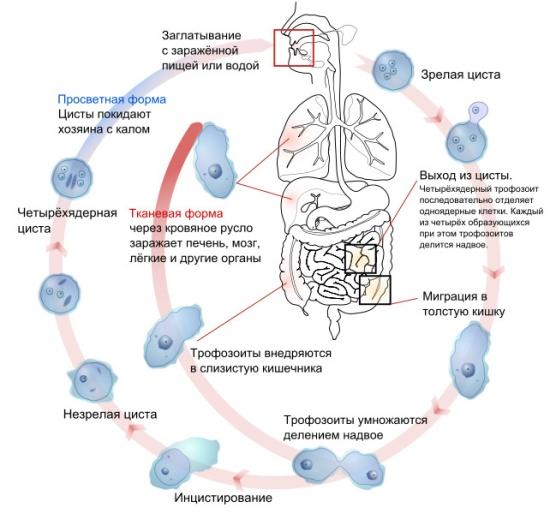 http://gepaten.ru/wp-content/uploads/gepaten.ru/amebiaz.jpg