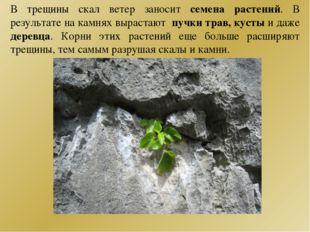 В трещины скал ветер заносит семена растений. В результате на камнях вырастаю