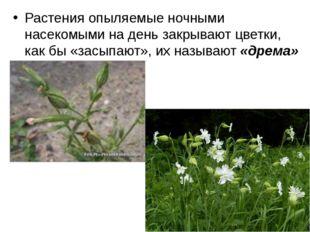 Растения опыляемые ночными насекомыми на день закрывают цветки, как бы «засып