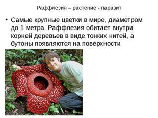 Раффлезия – растение - паразит Самые крупные цветки в мире, диаметром до 1 ме