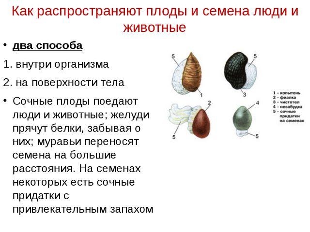 Как распространяют плоды и семена люди и животные два способа 1. внутри орган...