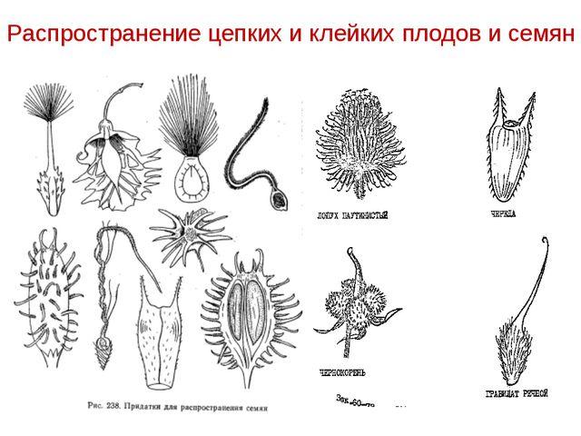 Распространение цепких и клейких плодов и семян