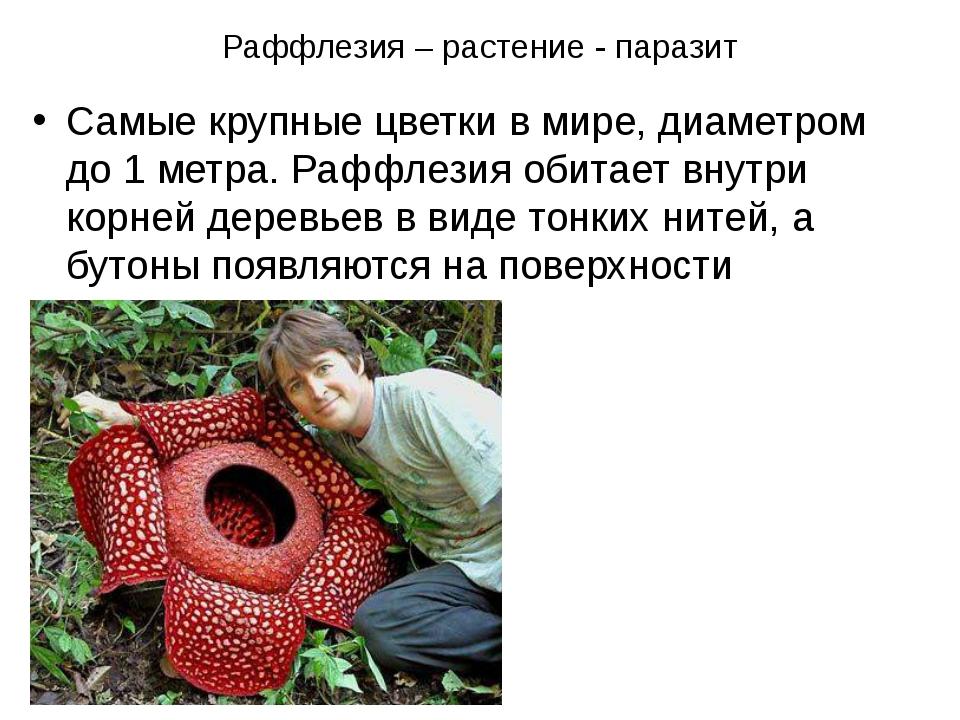 Раффлезия – растение - паразит Самые крупные цветки в мире, диаметром до 1 ме...