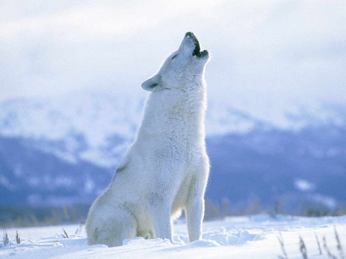 http://wfiles.brothersoft.com/a/arctic-wolf-wallpaper_100709-1400x1050.jpg