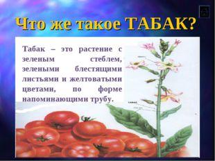 Что же такое ТАБАК? Табак – это растение с зеленым стеблем, зелеными блестящи