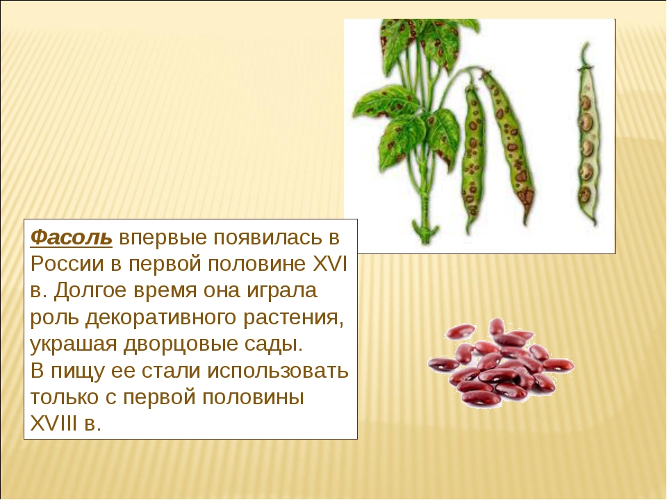 Фасольвпервые появилась в России в первой половине XVI в. Долгое время она и...