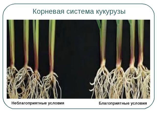 Корневая система кукурузы Благоприятные условия Неблагоприятные условия
