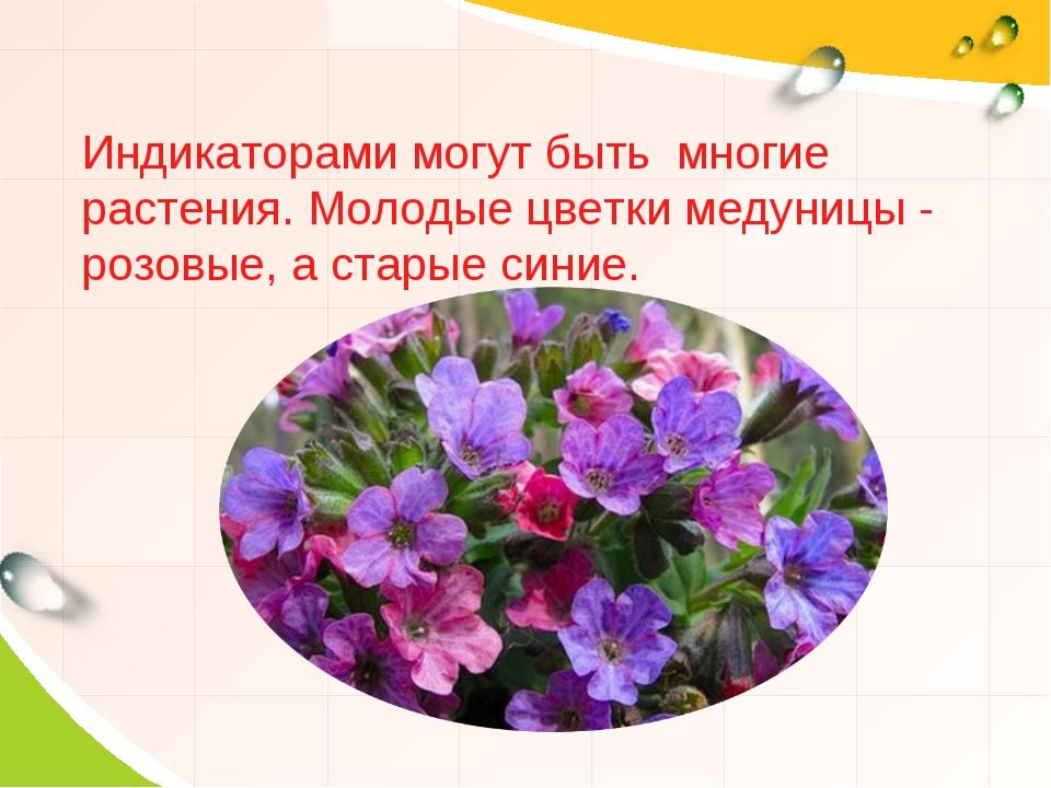 Индикаторами могут быть многие растения. Молодые цветки медуницы - розовые, а...