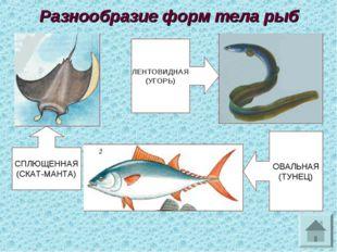 Разнообразие форм тела рыб СПЛЮЩЕННАЯ (СКАТ-МАНТА) ЛЕНТОВИДНАЯ (УГОРЬ) ОВАЛЬН
