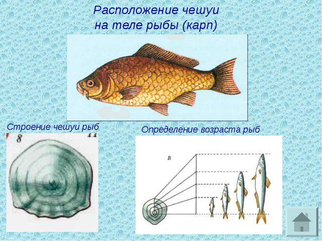 Расположение чешуи на теле рыбы (карп) Строение чешуи рыб Определение возраст...