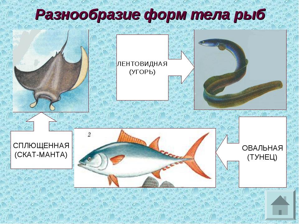 Разнообразие форм тела рыб СПЛЮЩЕННАЯ (СКАТ-МАНТА) ЛЕНТОВИДНАЯ (УГОРЬ) ОВАЛЬН...