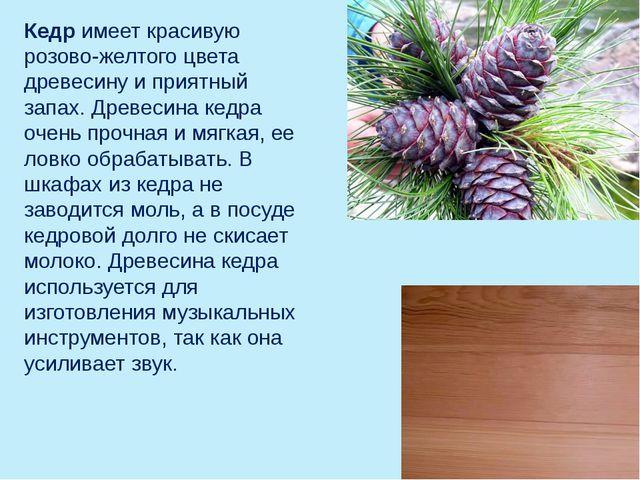 Кедр имеет красивую розово-желтого цвета древесину и приятный запах. Древесин...