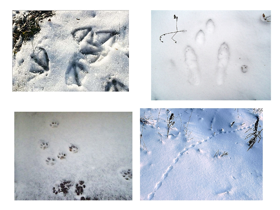чьи следы на снегу птицы хочу, чтоб