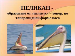 ПЕЛИКАН - образовано от «пелекус» – топор, по топоровидной форме носа